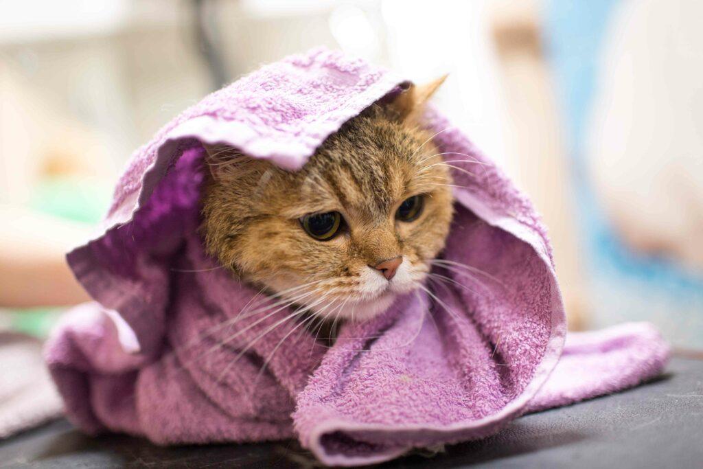 お風呂の後タオルで猫
